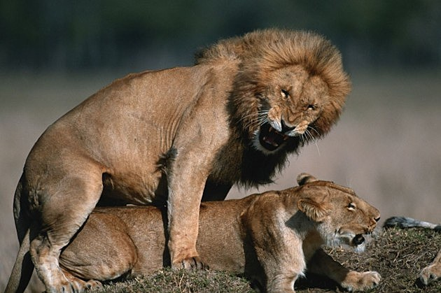 Sexual lions