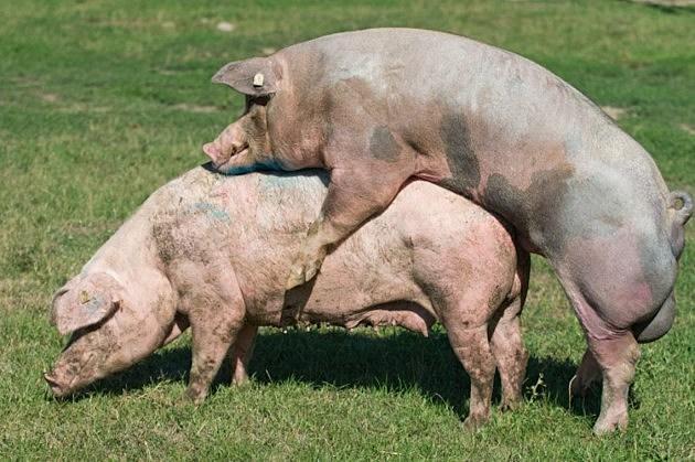 Pig sex